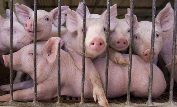 Mbysin 7 mijë derra për shkak të përhapjes së gripit