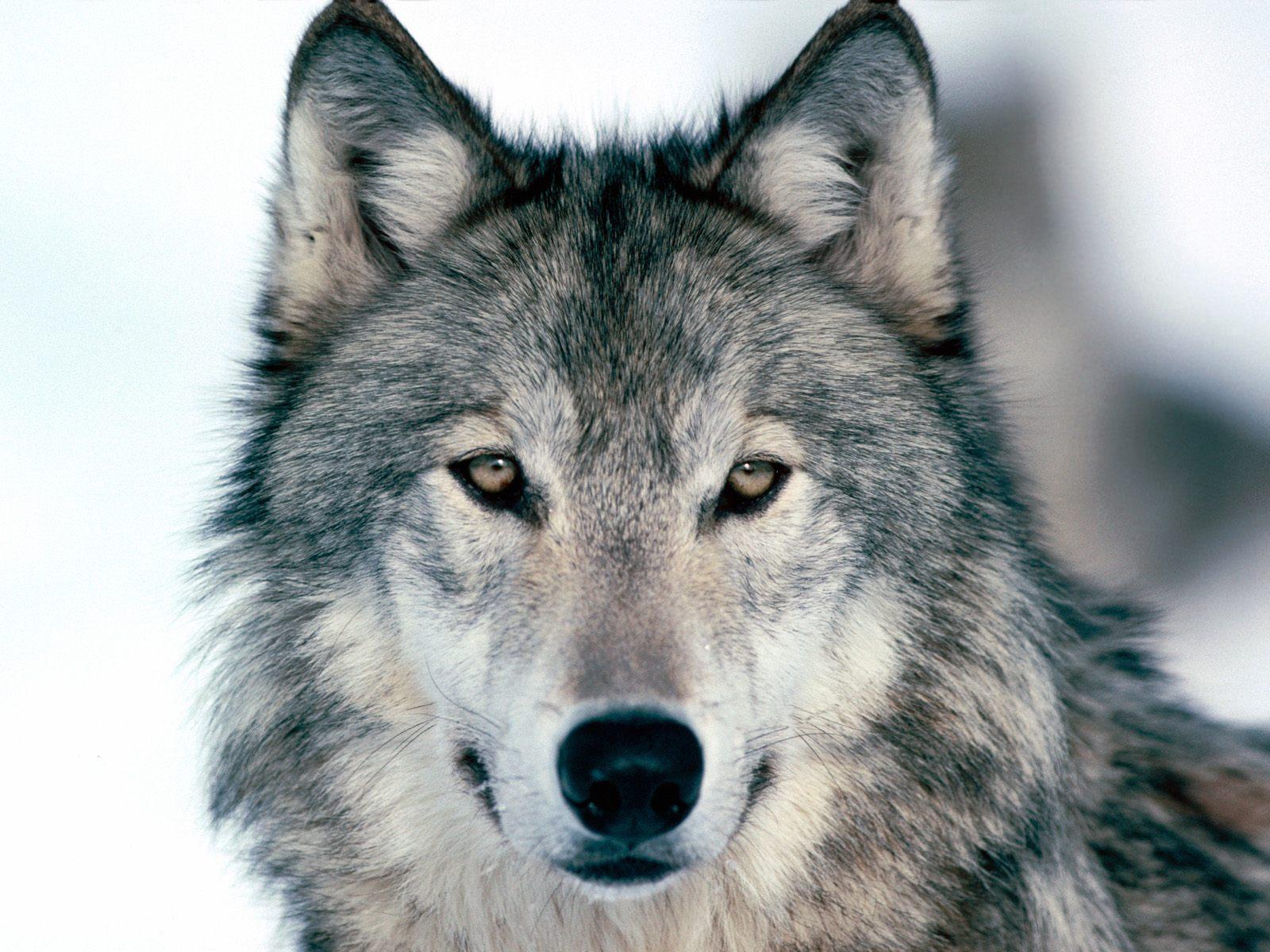Një ujk frikëson banorët e  Hanit të Elezit (Video)